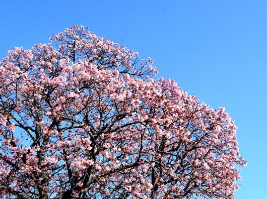 1-19.02.06 寒緋桜-1.jpg