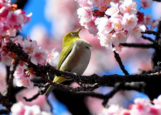 1-19.02.06 寒緋桜-5.jpg