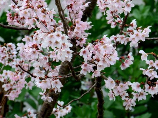 1-19.03.23 後田の早咲きの桜.jpg