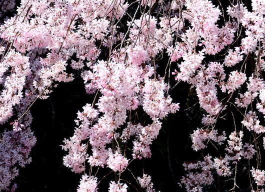 1-19.04.04 和歌山城公園の枝垂桜-1.jpg