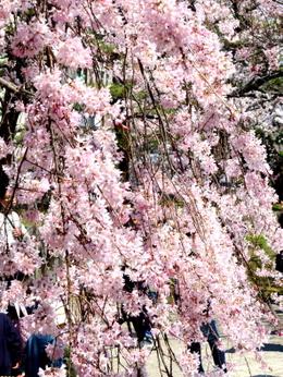 1-19.04.04 和歌山城公園の枝垂桜-2.jpg