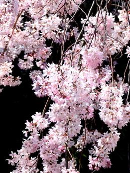 1-19.04.04 和歌山城公園の枝垂桜-3.jpg