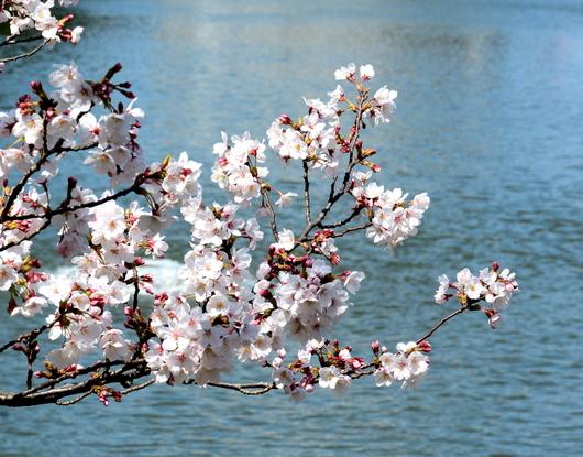 1-19.04.04 和歌山城公園の桜-3.jpg