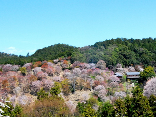1-19.04.13 吉野山中千本の桜-1.jpg