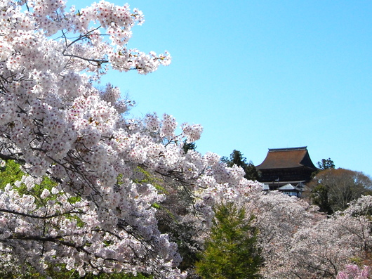 1-19.04.13 吉野山中千本の桜-2.jpg