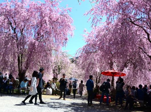 1-19.04.25 高見の郷枝垂桜-11.jpg