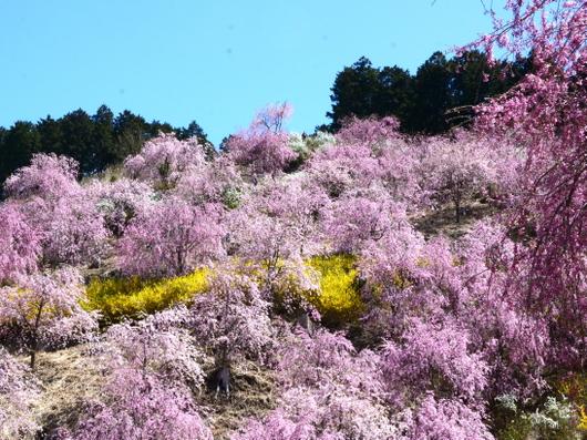 1-19.04.25 高見の郷枝垂桜-3.jpg