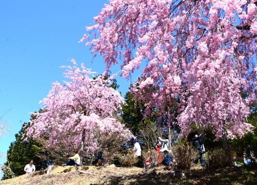 1-19.04.25 高見の郷枝垂桜-5.jpg