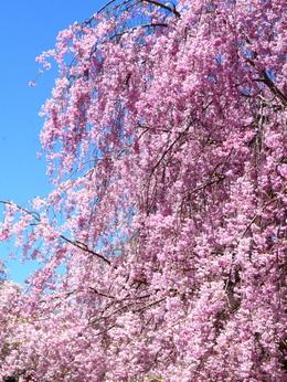 1-19.04.25 高見の郷枝垂桜-7.jpg