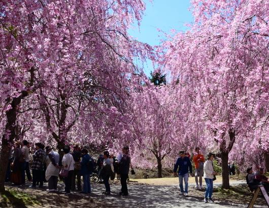 1-19.04.25 高見の郷枝垂桜-9.jpg