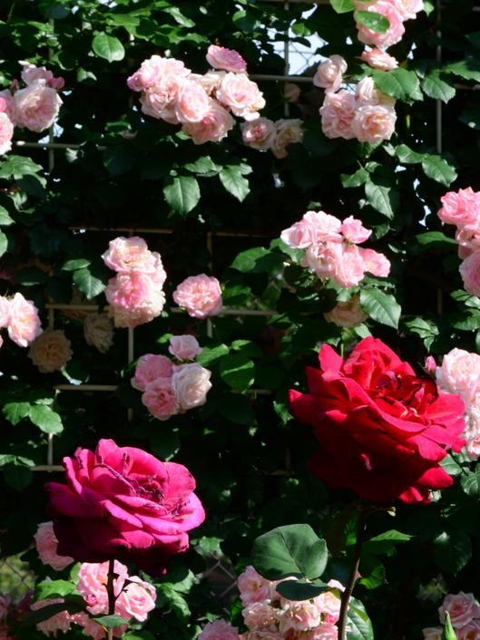 1-19.05.16 港緑地のバラ-2.jpg