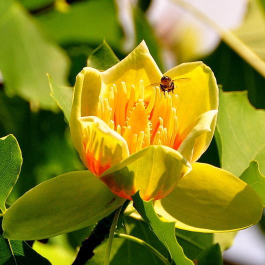1-19.05.22 緑化センターユリの木-2.jpg