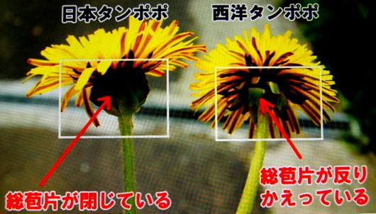 1-19.05.28  タンポポの種類.jpg