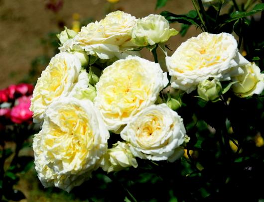1-19.06.03 四季の郷のバラ-2.jpg
