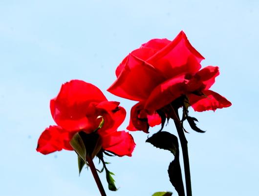 1-19.06.03 四季の郷のバラ-3.jpg