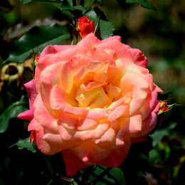 1-19.06.03 四季の郷のバラ-7.jpg
