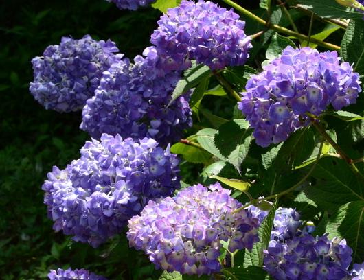 1-19.06.12 森林公園紫陽花-2.jpg