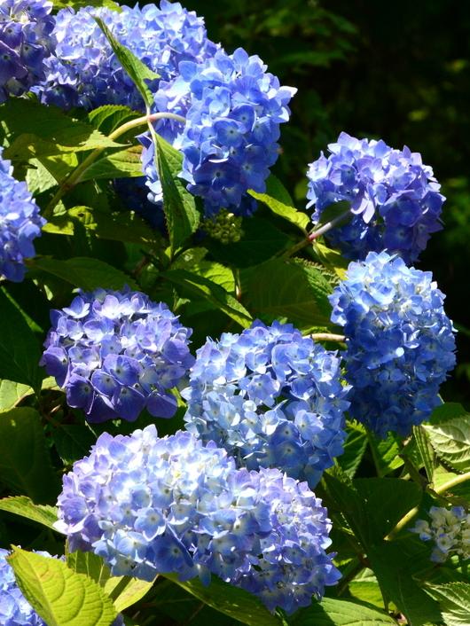 1-19.06.12 森林公園紫陽花-3.jpg