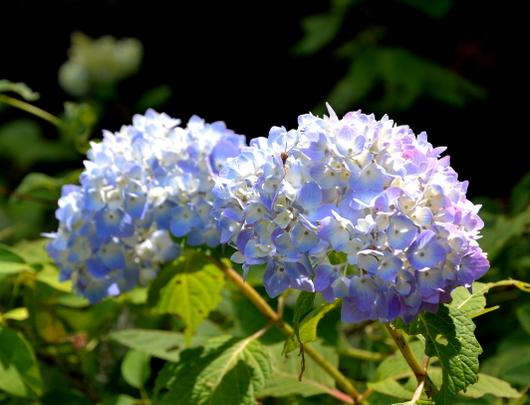 1-19.06.12 森林公園紫陽花-4.jpg