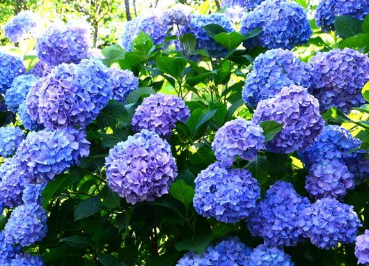 1-19.06.18 上富田町救馬観音の紫陽花-2.jpg