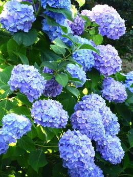 1-19.06.18 上富田町救馬観音の紫陽花-5.jpg