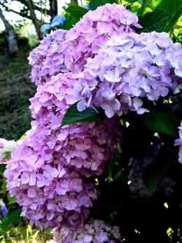 1-19.06.18 上富田町救馬観音の紫陽花-6.jpg
