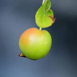 1-19.08.14 姫リンゴ-1.jpg