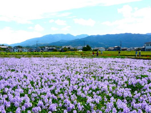 1-19.09.28 本薬師寺跡ほてい葵-1.jpg