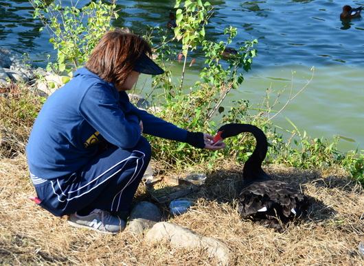 1-19.10.28 平池黒鳥の産卵-3.jpg