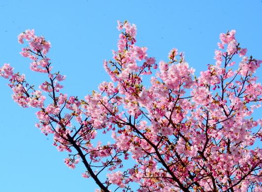 1-21.02.24 8字公園河津桜-3.jpg