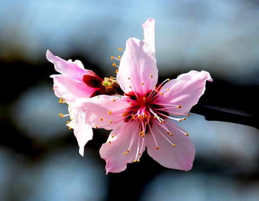 1-21.03.02 桃の花-2.jpg