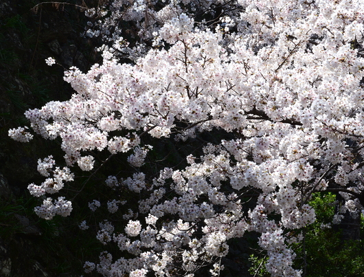 1-21.04.04 城内桜.jpg